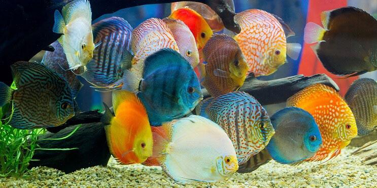 shoal-of-discus-fish