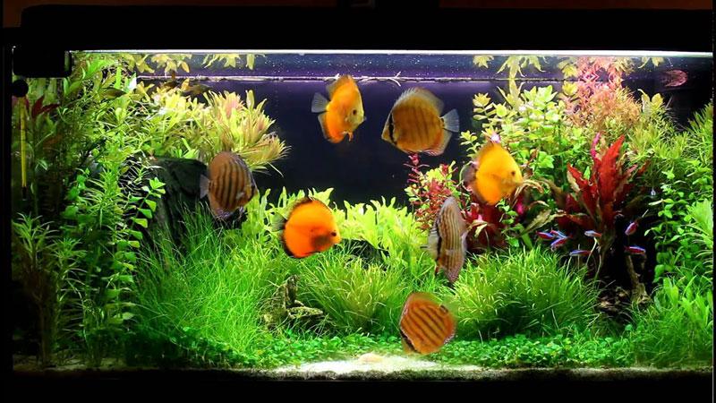 discus-fish-tank