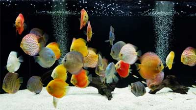 Discus Fish Tips