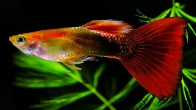 Guppy Fish Tips